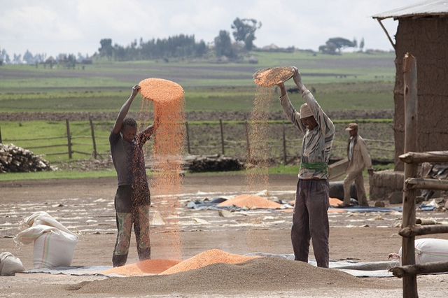 Ethiopian farmers winnowing orange lentils. Credit: Bioversity International